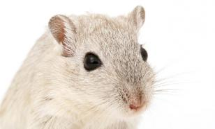 "Самца мыши ""сломали"", и он сменил пол"