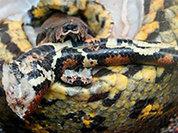 Гремучая змея держит в страхе жителей Мурманска