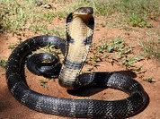 Раскрыта тайна быстрой модификации яда у змей