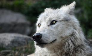 Редкий специалист: пиарщика с душой волка ищут в Белоруссии