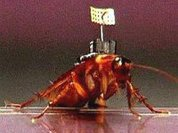 Киборги-тараканы готовы пойти в разведку