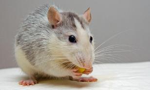 Вирус гепатита Е передается и от крыс
