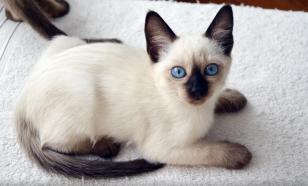 Тайская кошка: история породы, характер, уход