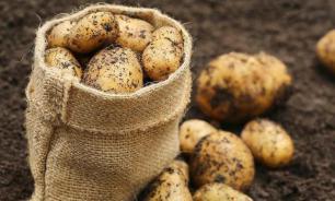 Урожай картофеля советуют не хранить более полугода