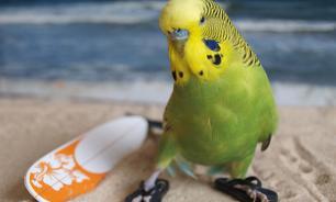 Зачем попугаю песок?
