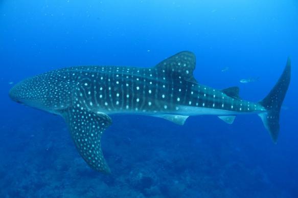Китовые акулы спасли один из городов Филиппин от нищеты