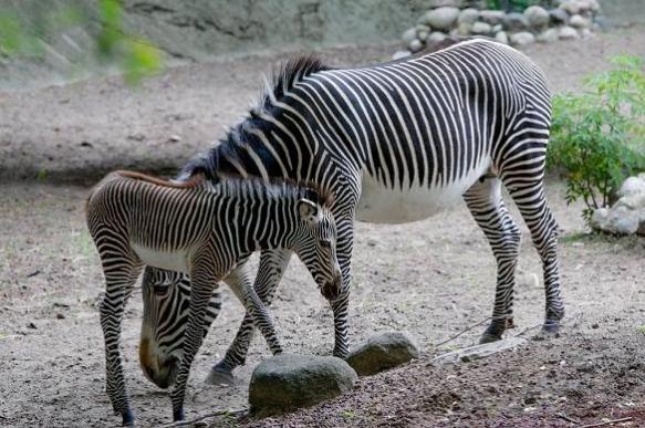 В зоопарке Владивостока появились зебры Зоя и Зина