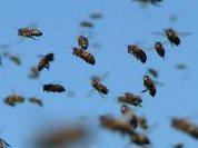 Пчелы жестоко подавляют оппозицию