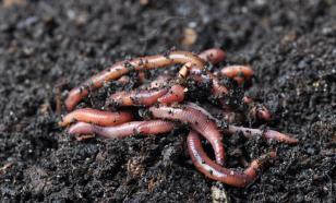 Дождевых червей выгоняет наружу страх?