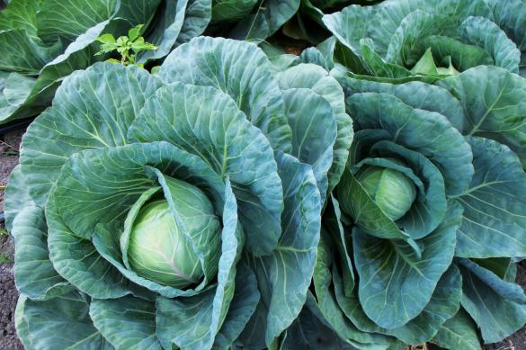 Урожай капусты: лучший рецепт из сезонного овоща