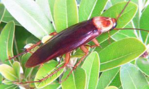 В Сочи появились американские тараканы