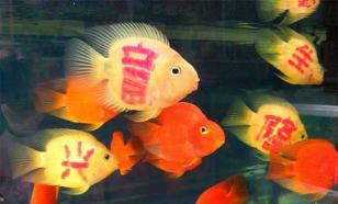 Зачем продавцы красят аквариумных рыбок