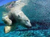 Белых медведей будут кормить с ложечки