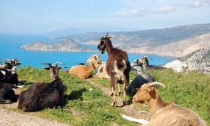 Жители греческого острова пожаловались на голодных диких коз