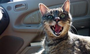 Кошка в машине: основные правила перевозки