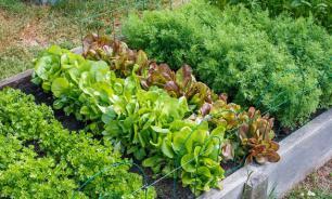 Для начинающих: самые легко выращиваемые овощи