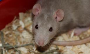 Не полюбить невозможно: пять фактов о крысах