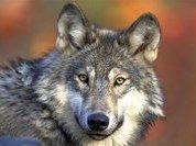 Воспитанники детдома в Томской области прикормили волчицу, приняв ее за собаку