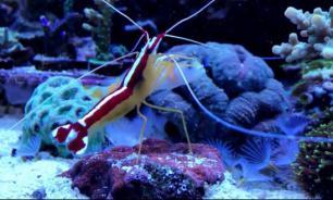 Супергеройская креветка пугает всех рыб. Часть 1