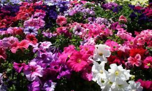 Пять шагов к хорошей рассаде петуний