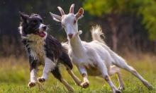 Четвероногие пастухи – гроза волков и овцекрадов