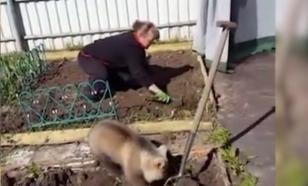 Пользователей Сети растрогал медвежонок, помогающий сажать картошку