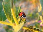 Божьи коровки подслушивают муравьев