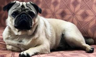Хозяева собак реже умирают от повторного инфаркта или инсульта