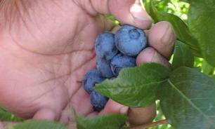 Заблудившаяся пенсионерка прожила в лесу 8 дней на одних ягодах