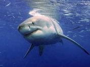 Пляжи Приморья во власти акул