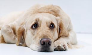 Депрессия у собаки: что делать