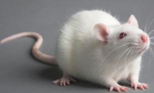 Крысы и мыши полюбили автомобили Toyota
