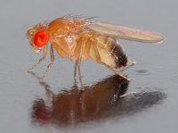 Даже мухи употребляют алкоголь