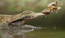Крокодилы - любимцы императоров и махараджей