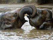 Слонята, давайте жить дружно