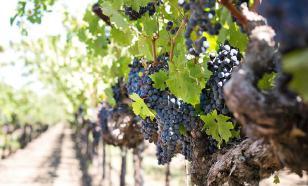 Как защитить виноградник от вымерзания