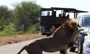 """""""Посмотри, какой я храбрый"""": в ЮАР лев на глазах у львицы атаковал автомобиль с туристами"""