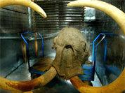О чем расскажет клонированный мамонт