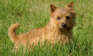 В проблемах дыхания у собак виноваты гены - биологи