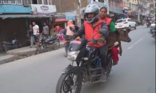 Житель Непала перевез 160 коров на мотоцикле