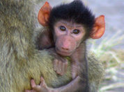 Загадочное звено между обезьяной и человеком