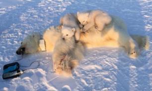 Двадцать белых медведей с детенышами гуляют по селу на Чукотке