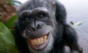 """Шимпанзе старались перещеголять свое отражение в зеркале """"танцами"""". Видео"""