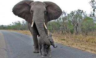 Мельница мифов: кого боятся слоны