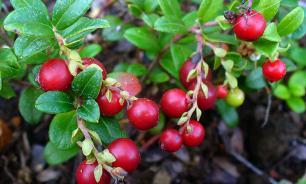 Врач-гастроэнтеролог: голубика и брусника - самые полезные ягоды