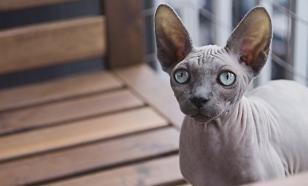 """Как ухаживать за """"голыми"""" кошками"""