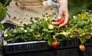 Выращиваем клубнику: нетривиальные способы