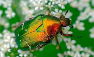 Домашний жук бронзовка