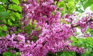 Багрянник: цветочный шатер для украшения сада