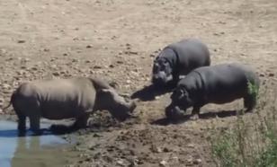 Бой за водопой: в ЮАР злой бегемот утопил мешающего ему пить носорога